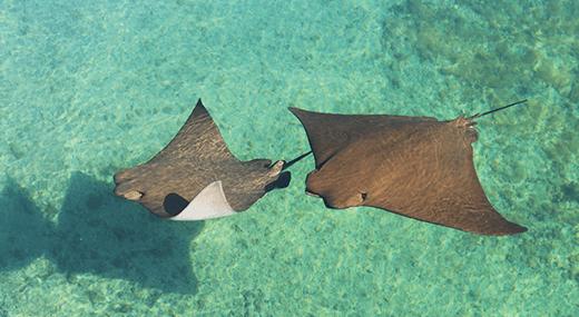 2 stingrays swimming