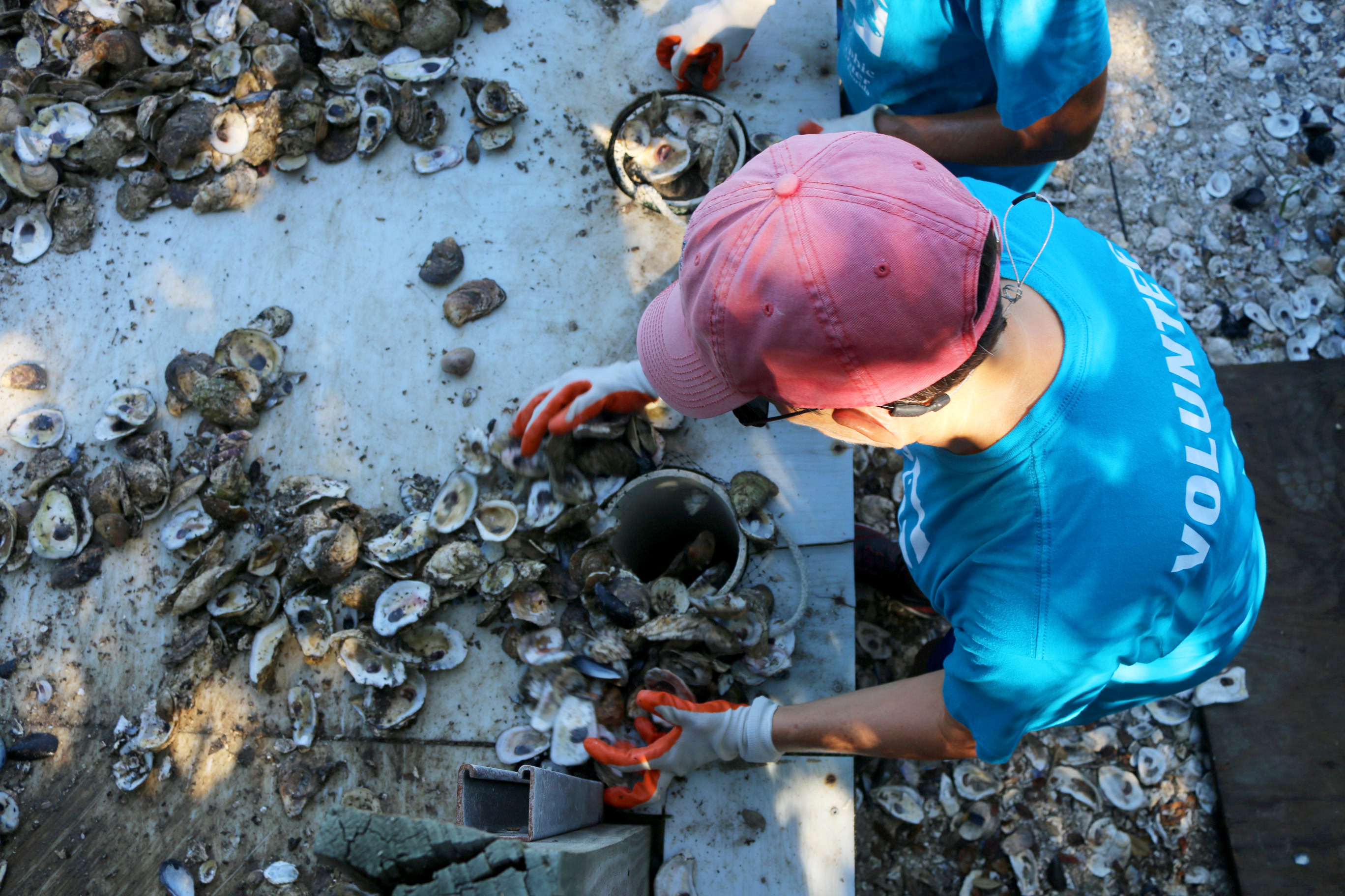 Volunteer bagging oyster shell