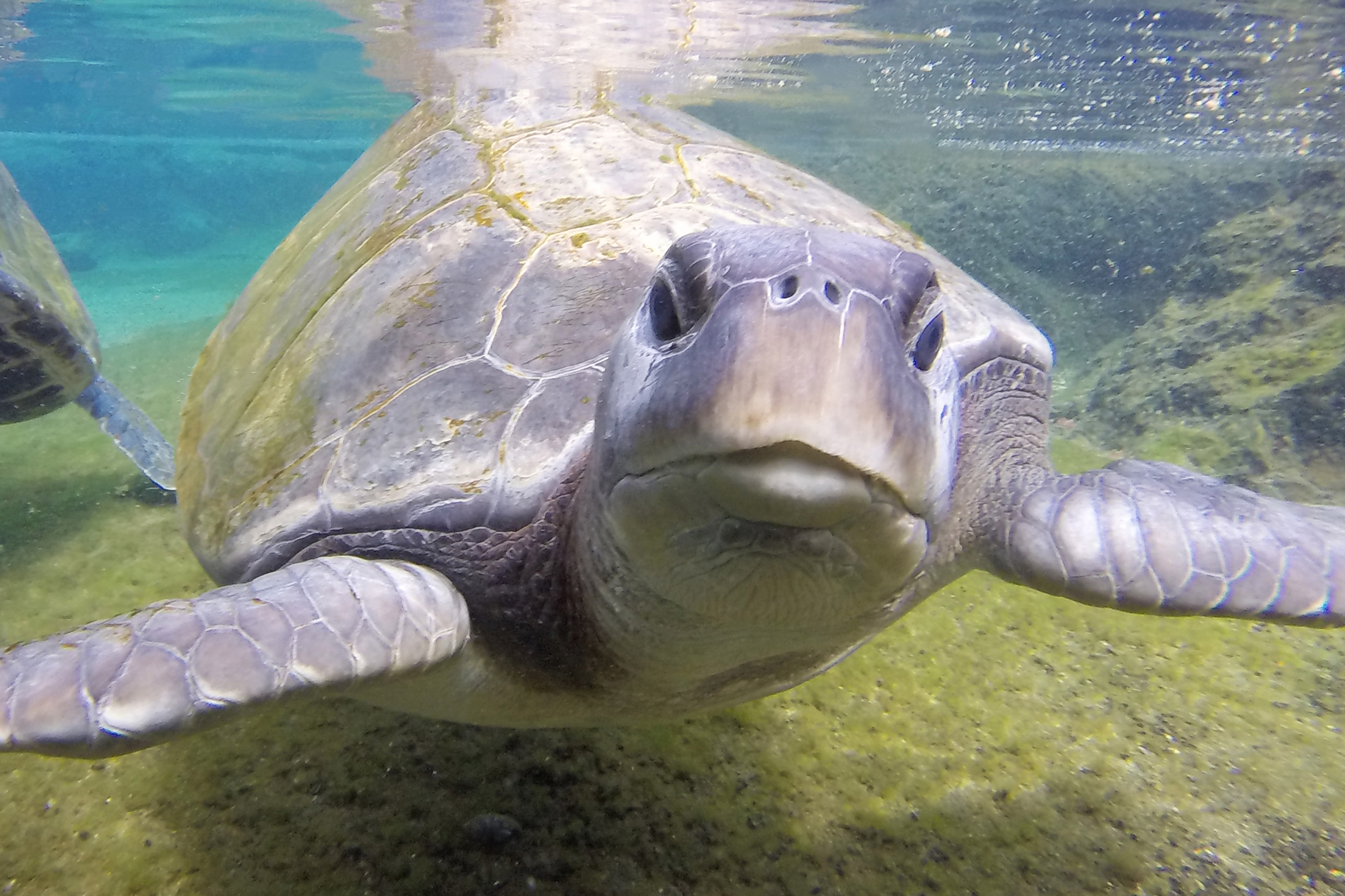 Turt the green sea turtle