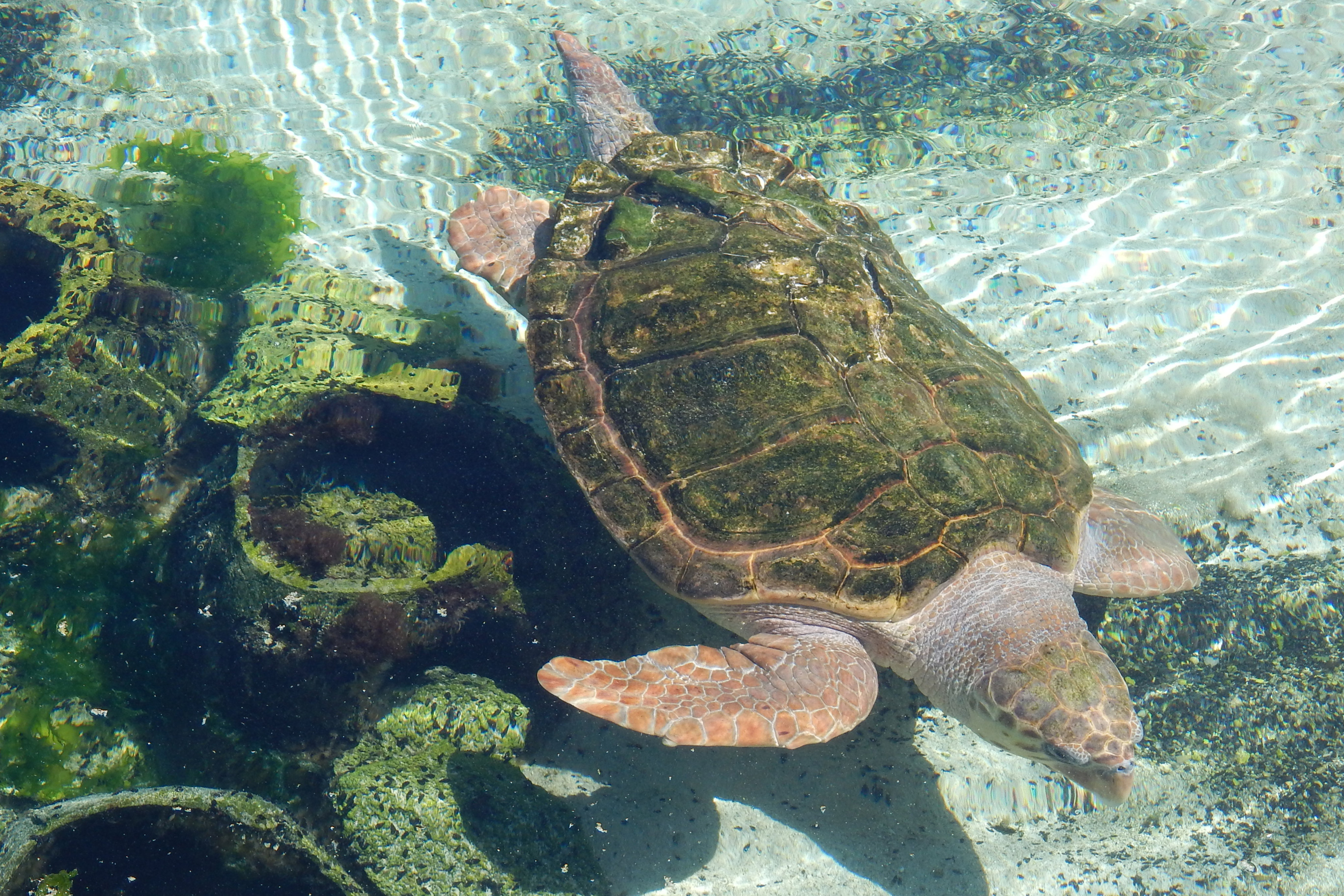 Annabelle the green sea turtle