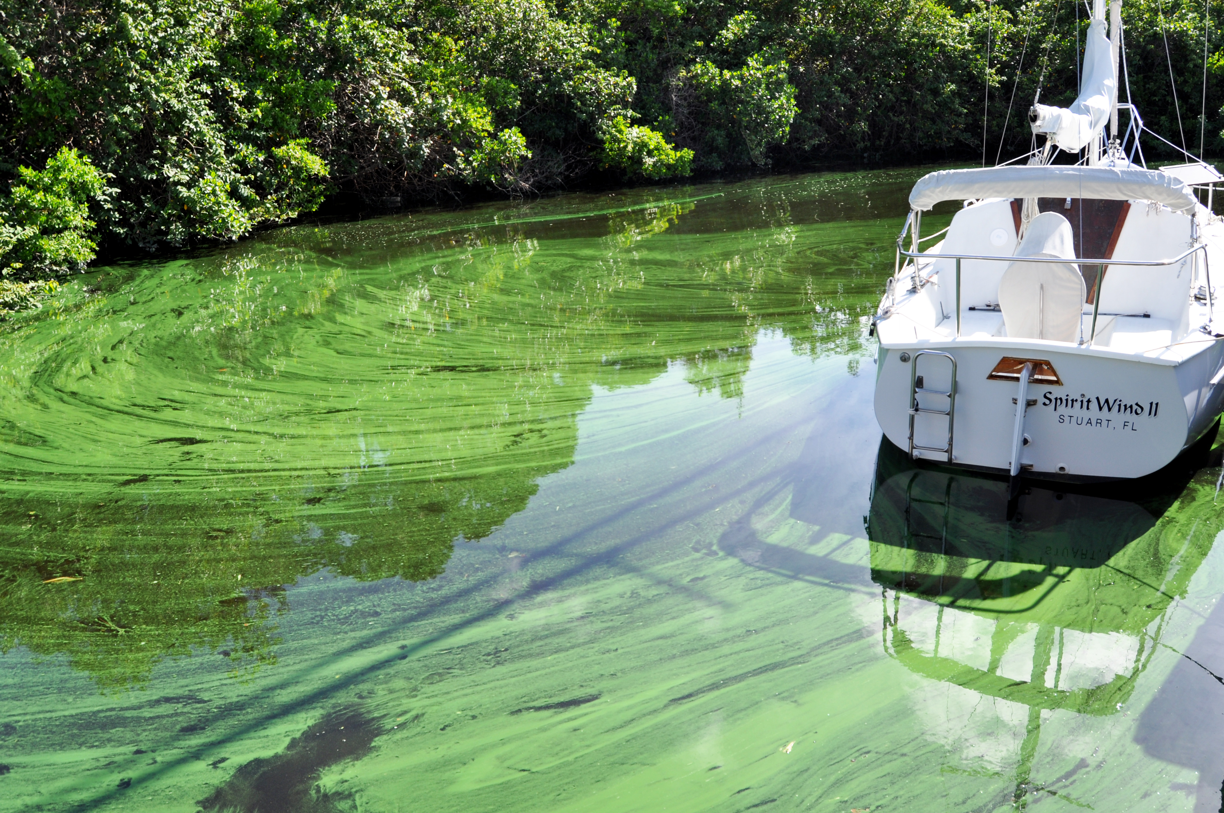 Microcystis in the Indian River Lagoon