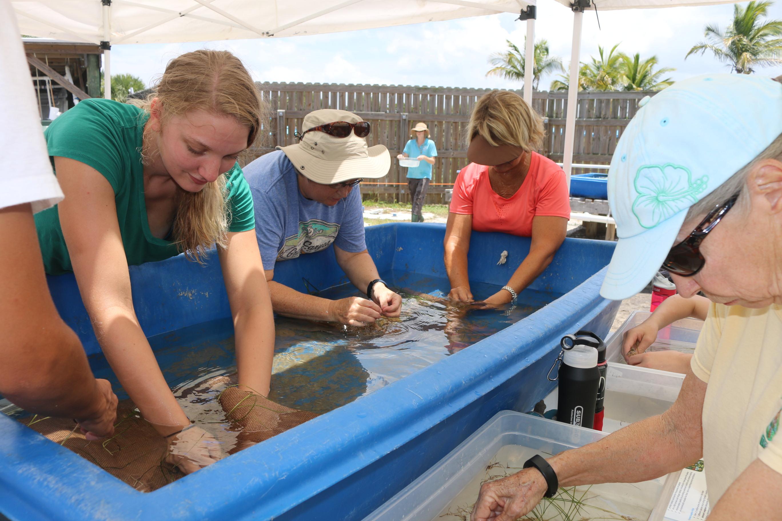 volunteers planting seagrass