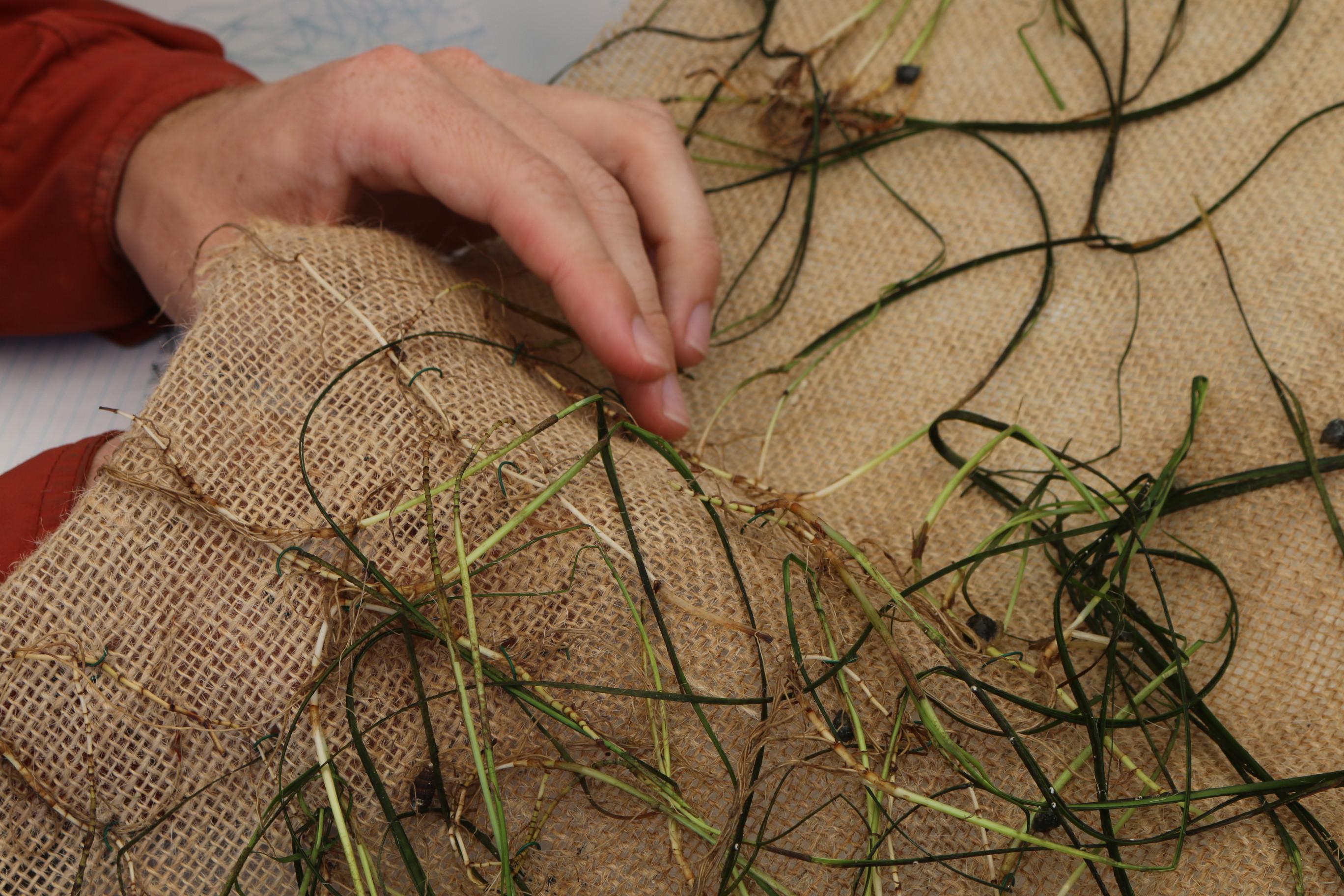 Seagrass transplant mat