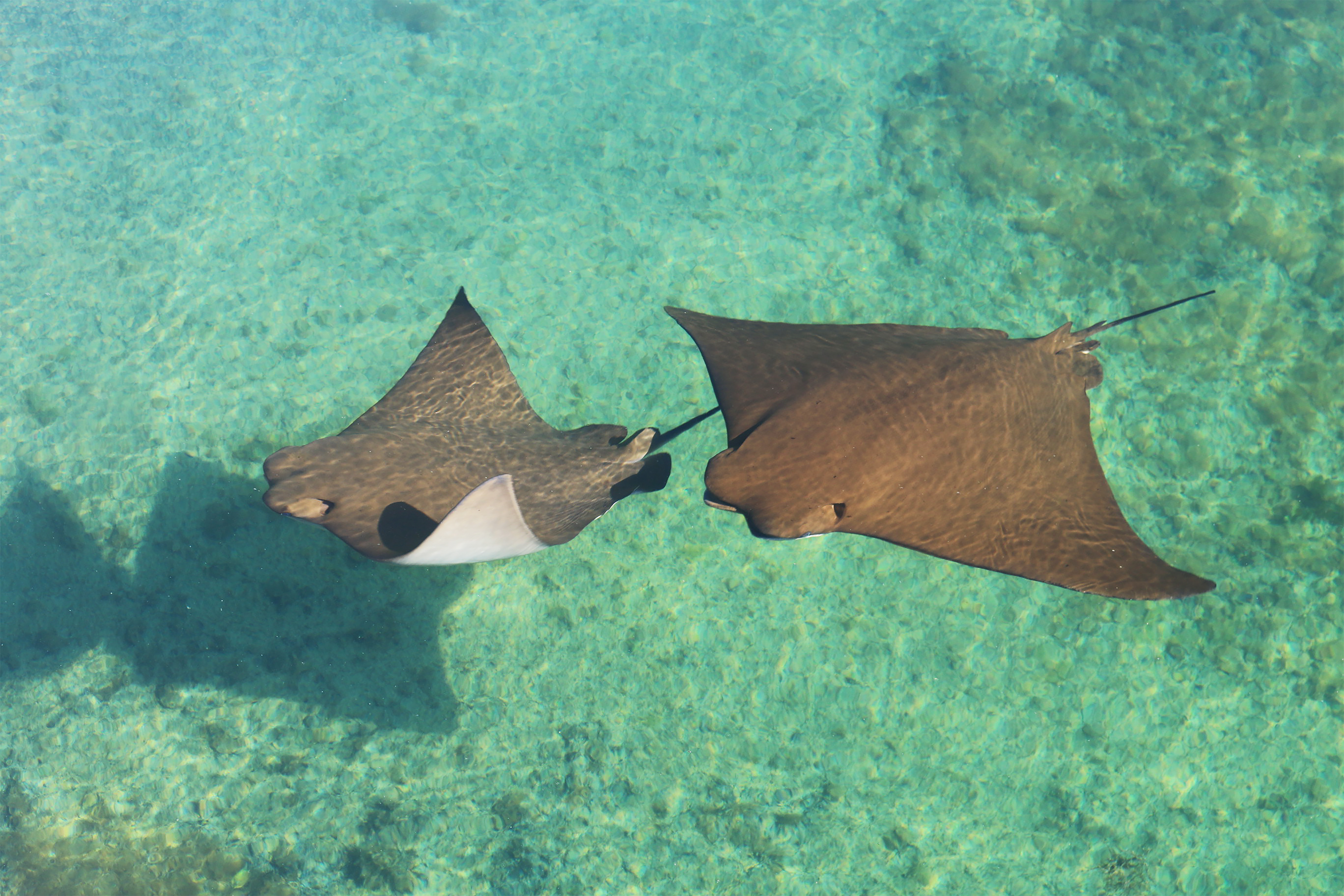 Stingrays inside the gamefish lagoon