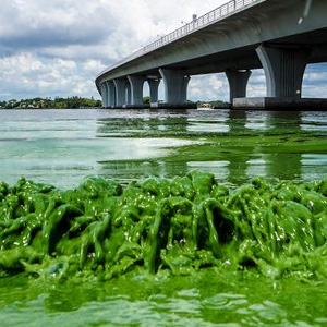 blue-green algae inside the Indian River Lagoon