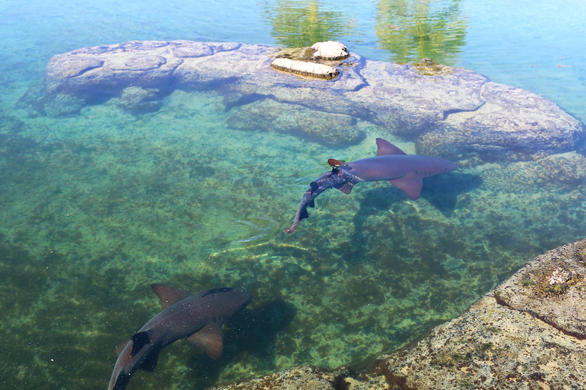 nurse sharks inside the gamefish lagoon