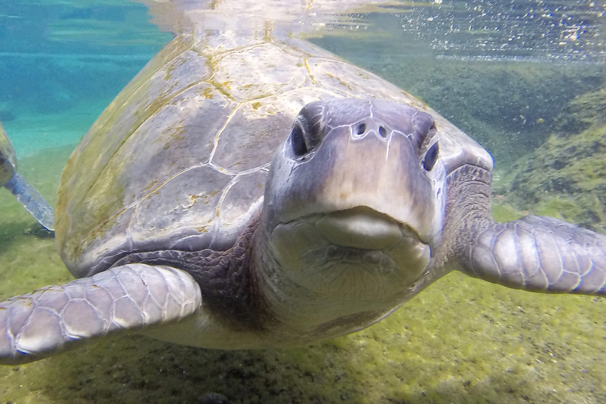 Turt the sea turtle