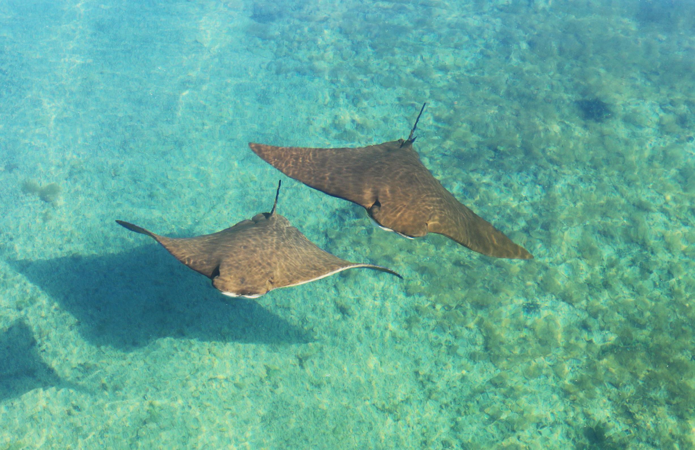 sting rays in lagoon