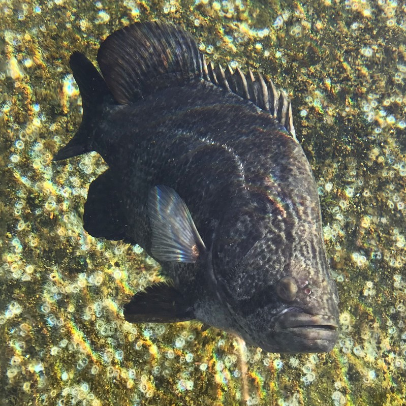 Atlantic%20tripletail.jpg