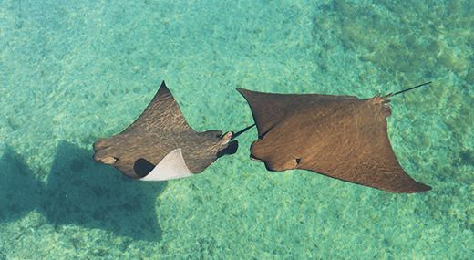 2 stingrays swimming at Florida Ocean