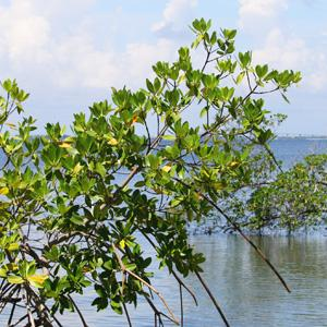 Mangroves in Indian River Lagoon