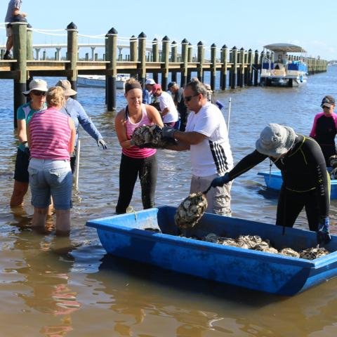 Volunteers deploying oyster shell