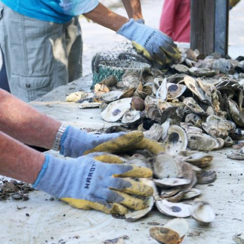 volunteers bagging oyster shell